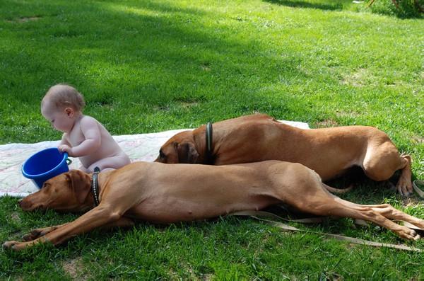innbilt svangerskap hund